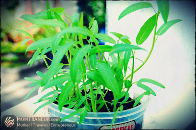 How to Grow Water Spinach and Chinese Kale Seeds