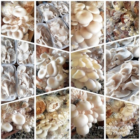 White Oyster Mushrooms