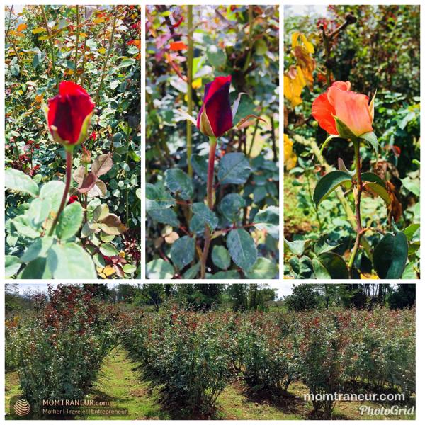 Rose Farm, Claveria