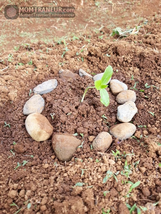 How to grow Cantaloupe or Melon from seeds